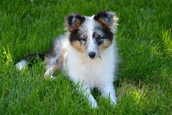 Shetland Sheepdog on the grass
