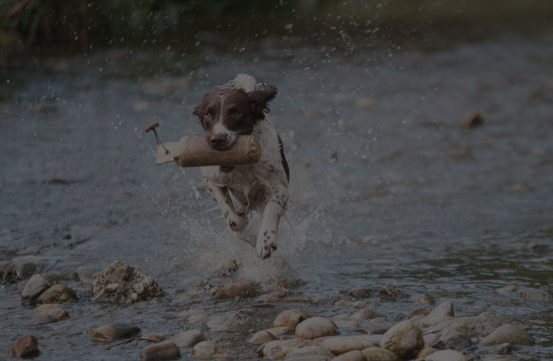 A dog running in the river with holding a toy bag in his mouth