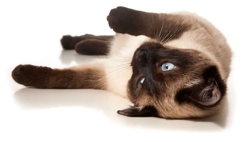 Siamese cat isolated on white
